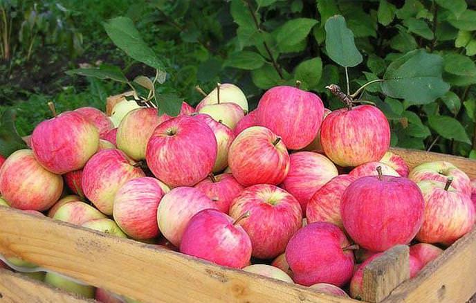 Плоды яблони «Штрифель» можно сушить и консервировать